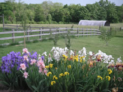 Spring flowers of purple, pink and white along with sunflowers on edge of yard with split rails fence and woods.