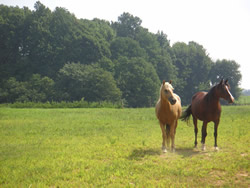 Two horses one dark and one light brown grazing in field, wooded area in distance.